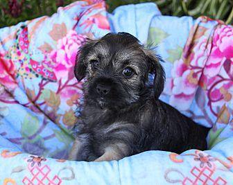 Shih Tzu Mix Puppy for adoption in Newport Beach, California - DAHLIA