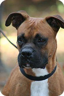 Boxer Dog for adoption in Houston, Texas - MACK