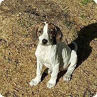 Adopt A Pet :: Phoebe - Byhalia, MS