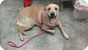 Labrador Retriever Mix Dog for adoption in Paducah, Kentucky - Sammy