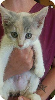Domestic Shorthair Kitten for adoption in Cleveland, Mississippi - MAGIK