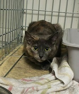 Calico Cat for adoption in Kalamazoo, Michigan - Stevie - Chelsea