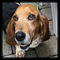 Basset Hound Dog for adoption in Marietta, Georgia - Joy