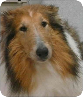 Collie Dog for adoption in Chicago, Illinois - Rosie(ADOPTED!)