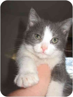 Domestic Shorthair Kitten for adoption in Farmington, Michigan - Shrimp