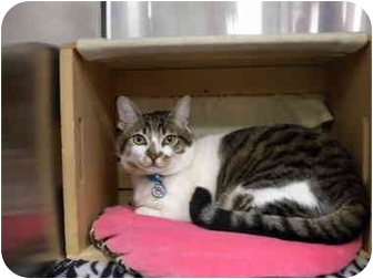 Domestic Shorthair Cat for adoption in San Diego, California - Vaayla
