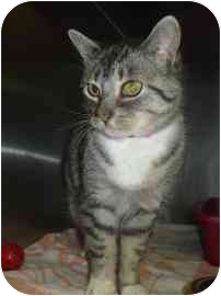 Domestic Shorthair Cat for adoption in Barrie, Ontario - Silver Dust