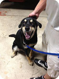 Rottweiler/Shepherd (Unknown Type) Mix Dog for adoption in Warren, Michigan - Good Boy