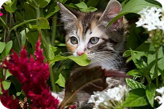 Calico Kitten for adoption in sarasota, Florida - Brittain