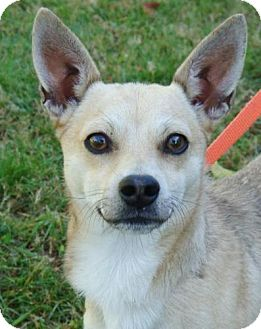 Chihuahua Mix Dog for adoption in Red Bluff, California - Nino