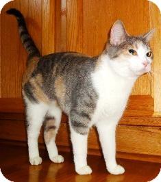 Calico Cat for adoption in Osseo, Minnesota - Calli