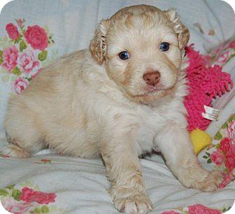 Schnauzer (Miniature)/Shih Tzu Mix Puppy for adoption in Hazard, Kentucky - Hannah