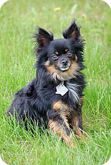 Papillon Dog for adoption in Mora, Minnesota - Bruiser