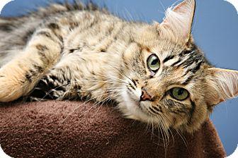 Domestic Mediumhair Cat for adoption in Bellingham, Washington - Emma