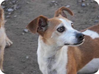 Chihuahua/Terrier (Unknown Type, Medium) Mix Dog for adoption in polson, Montana - Moso