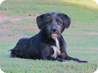 Wheaten Terrier/Schnauzer (Miniature) Mix Dog for adoption in Bedminster, New Jersey - GRADY