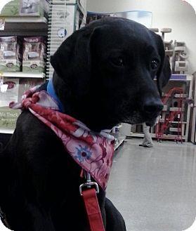 Labrador Retriever Mix Dog for adoption in Virginia Beach, Virginia - Lillian