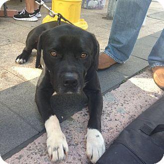 American Bulldog/Labrador Retriever Mix Dog for adoption in Miami, Florida - Jake