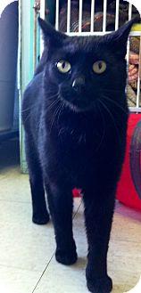 Domestic Shorthair Cat for adoption in Port Hope, Ontario - Rebel