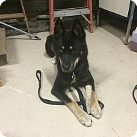 Adopt A Pet :: Blue - Carey, OH
