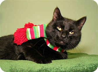 Domestic Shorthair Cat for adoption in Milford, Massachusetts - Jingles