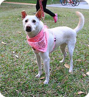 Kishu/Labrador Retriever Mix Dog for adoption in Castro Valley, California - Bright
