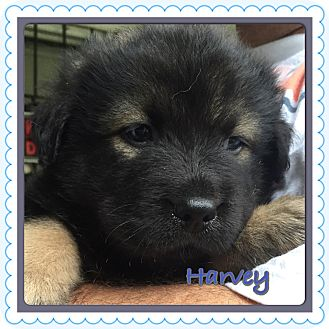 Bernese Mountain Dog/German Shepherd Dog Mix Puppy for adoption in Fishkill, New York - HARVEY