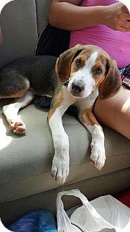 Shepherd (Unknown Type)/Hound (Unknown Type) Mix Puppy for adoption in Manassas, Virginia - Gretchen *adoption pending*