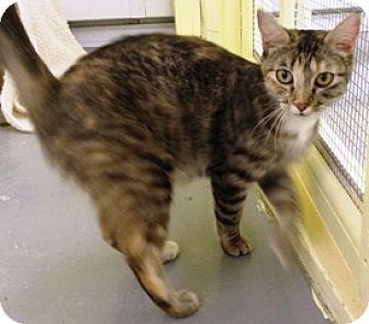 Calico Cat for adoption in Fort Benton, Montana - Mattie