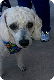 Miniature Poodle Mix Dog for adoption in San Francisco, California - Kringle