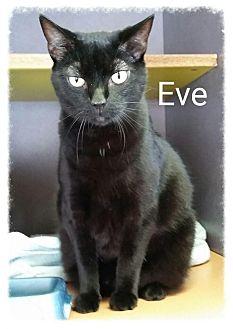 Domestic Shorthair Cat for adoption in Lexington, Kentucky - Eve