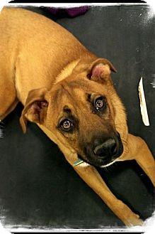 Boxer/Black Mouth Cur Mix Puppy for adoption in House Springs, Missouri - O' Leary