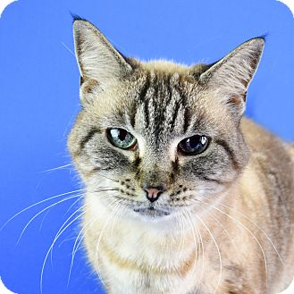 Siamese Cat for adoption in Carencro, Louisiana - Lilah
