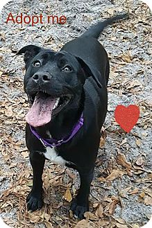 Labrador Retriever/American Staffordshire Terrier Mix Dog for adoption in Savannah, Georgia - Effie