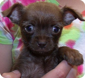 Chihuahua/Terrier (Unknown Type, Small) Mix Puppy for adoption in Corona, California - POPPY