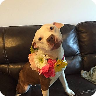 Staffordshire Bull Terrier/Pit Bull Terrier Mix Dog for adoption in Villa Park, Illinois - Alice
