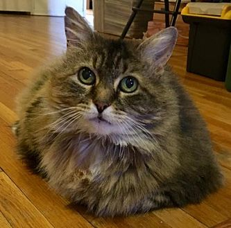 Domestic Longhair Cat for adoption in Budd Lake, New Jersey - Adele