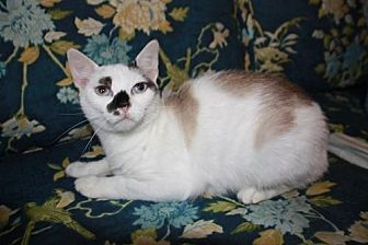 Domestic Shorthair Cat for adoption in Staunton, Virginia - Mouse