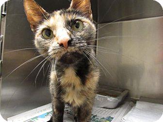 Domestic Shorthair Cat for adoption in Windsor, Virginia - Tesla