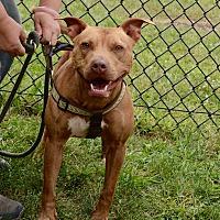 Adopt A Pet :: Nutmeg - Yonkers, NY