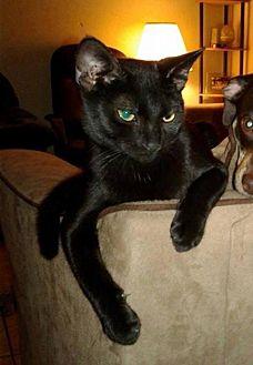 Domestic Shorthair Kitten for adoption in Evansville, Indiana - Byrley