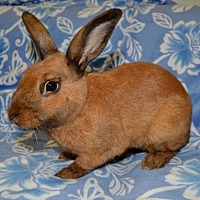 Adopt A Pet :: Cinnamon - Chesterfield, MO