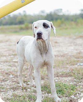 Pointer Mix Dog for adoption in Pittsburgh, Pennsylvania - Dixie
