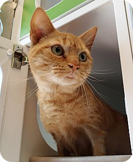 Domestic Shorthair Cat for adoption in Newport, North Carolina - Diddle