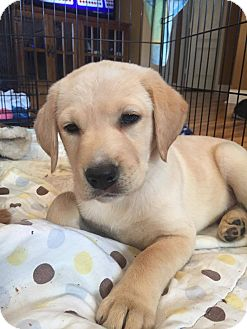 Labrador Retriever Mix Puppy for adoption in Greensboro, North Carolina - Shea