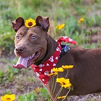 Pit Bull Terrier Mix Dog for adoption in Gainesville, Florida - Laney