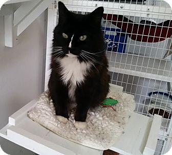 Domestic Mediumhair Cat for adoption in Gunnison, Colorado - Mabel Mittens