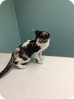 Domestic Shorthair Kitten for adoption in Broadway, New Jersey - Cali