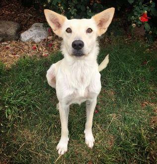 Shepherd (Unknown Type) Mix Dog for adoption in Fredericksburg, Texas - Marcie