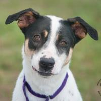Adopt A Pet :: London - Georgetown, TX